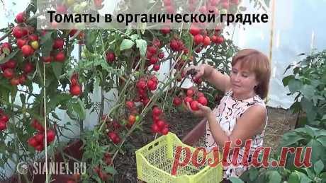 El secreto más importante de la cosecha grande de los tomates