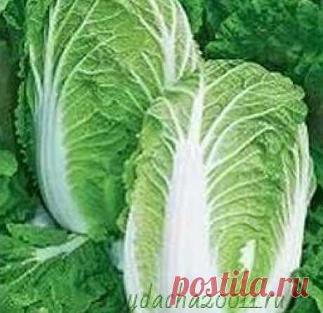 Как сажать и выращивать пекинскую капусту, чтобы получить хороший урожай