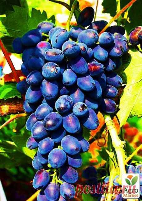 """Виноград """"Юпитер"""" (кишмиш, ранний срок созревания, морозостойкость до -27⁰С) - Виноград - купить в Одессе, Украине по цене 89 грн - Agro-Market"""