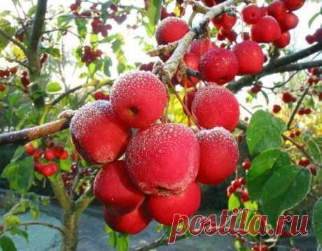 Как правильно привить яблоню – советы новичкам | Яблоня, груша (Огород.ru)