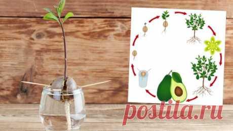 Как вырастить апельсин, грейфрут, лимон, финик, киви и даже авокадо из косточки на Supersadovnik.ru Сохраните семена экзотических фруктов и попробуйте самостоятельно вырастить из них растения!