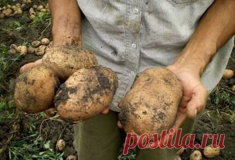 "Confidential technologies of cultivation of potato. \u000aAnd what beautiful potato grows: large, of the size of two fists, it is not less!\u000a\u000aIf it is reasonable to manage, it is possible to grow up many ogorodina on the minimum square. For example, 450 kilograms of potato from one hundred part. Not poorly!\u000a\u000aBeds for ""the second bread\"" do unusually narrow – 40-45 cm. From above display compost on soil. It both a reliable mulch, and fine food for potatoes. Under such protection almost does not sprout a tall weeds. And..."