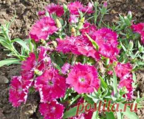 Гвоздика китайская многолетняя, посадка и уход. Выращивание - Цветы с фото | Дача своими руками