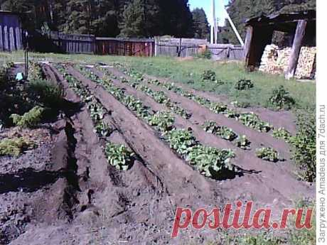 Облегчаем труд картофелевода. Мой способ выращивания