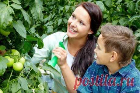 Использование йода при выращивании томатов