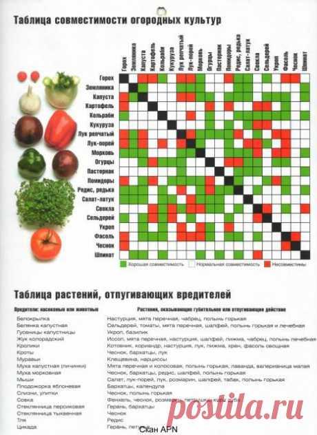 Соседство растений на огороде | Приусадебное хозяйство - выращивание овощей и цветов