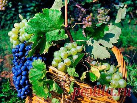 (+1) тема - как подготовить виноград к зиме | ОГОРОД БЕЗ ХЛОПОТ