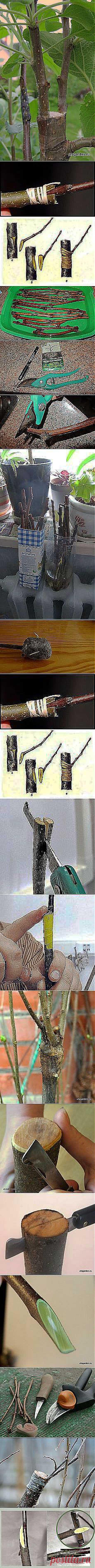 Прививки растений   Постила