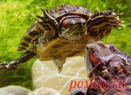 Как размножаются и спариваются красноухие черепахи в домашних условиях: условия необходимые для разведения, брачные игры и половой акт. Уход за яйцами и новорожденными малышами.