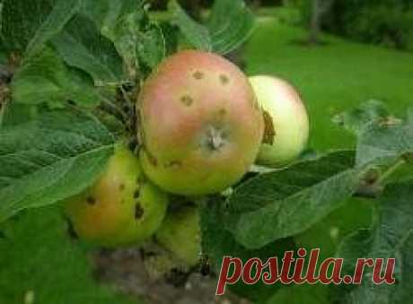 Features of fight against a scab on an apple-tree