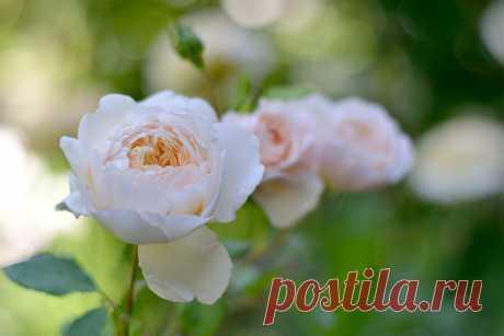 roza-cvetok-nezhnyy-listya.jpg (2048×1365)