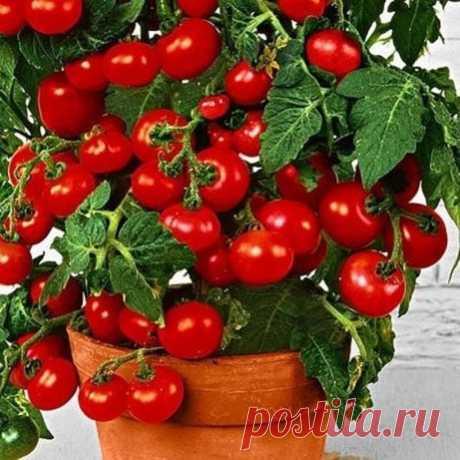 Томат комнатный гном СЕМЕНА 10 ШТ   Сорт детерминантный, низкорослый, сам прекращает расти, достигнув 50-60 см. Нештамбовый, среднеоблиственный, листья обычные. Плоды созревают через 85-110 дней после того, как появятся всходы. Помидоры средние, ближе к мелким, массой по 50-60 г. Имеют округлую форму, в стадии зрелости – красный цвет. У них насыщенный помидорный вкус. Кожица не склонна к растрескиванию. многолетники на весну  С 1 кв. м. участка собирают 5,5-6 кг плодов. платочная вязка