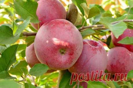 Яблоня «Флорина»: описание сорта, польза и пищевая ценность плодов, правила посадки и ухода, сбор урожая и хранение, отзывы, фото