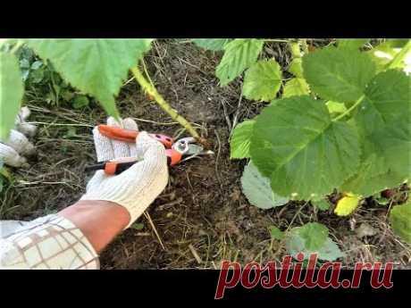 326  Как обрезать малину, чтобы малины было много