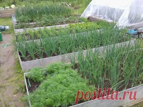 Что посадить на грядку после чеснока и лука в июле-августе? | 6 соток