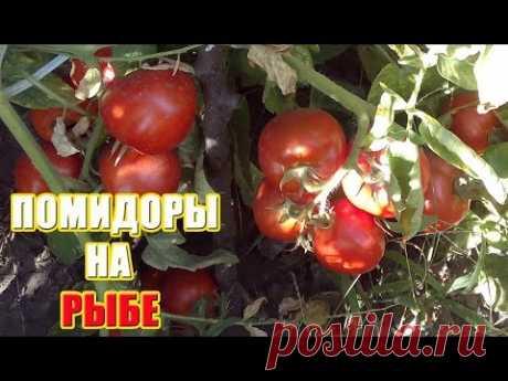 Сажаем помидоры на рыбку