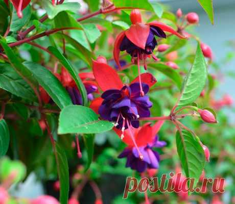 Фуксия: выращивание и уход в домашних условиях, размножение и пересадка