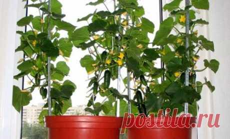 Как собрать небывалый урожай огурцов на балконе