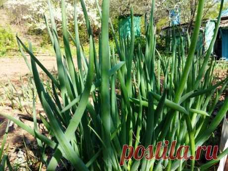Заготовила зеленый лук на зиму: без сушки и заморозки, практически свежий продукт | Наша Дача | Яндекс Дзен
