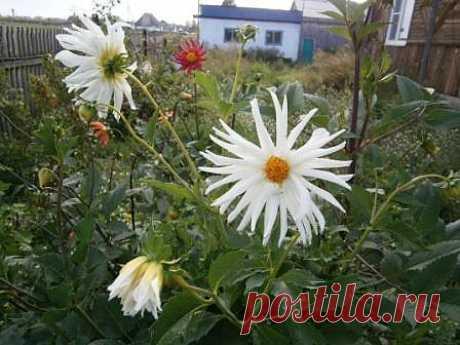Кактусовидная георгина - цветы не очень пышные, как у георгины, но тоже КРАСИВЫЕ!