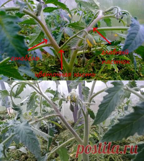 Как правильно формировать томаты в два стебля, чтобы получить максимальный урожай, а не ботву.   Посад   Яндекс Дзен