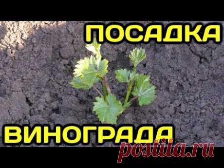 Проверенный способ посадки винограда весной. Как пересадить саженец винограда и укоренить черенок. Полив и уход за виноградной лозой. Сорта винограда.В этом ...