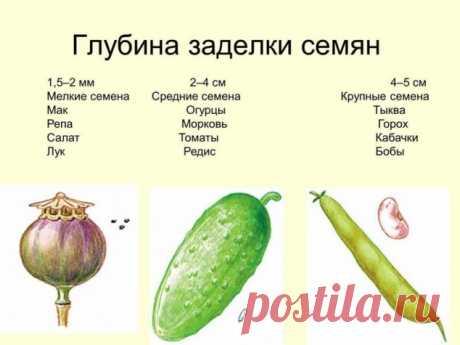 La profundidad zadelki de las semillas - Sadovodka