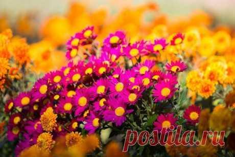 Как сохранить хризантемы зимой не выкапывая: 5 полезных подсказок, чтобы не остаться без красоты в следующем сезоне.