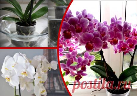 После простой подкормки все орхидеи выпустили стрелки (без химии). Рецепт передают из уст в уста, а пробуют редкие счастливчики | Секреты сада и дачи | Яндекс Дзен