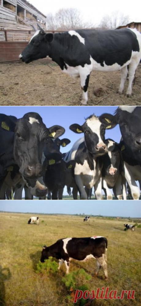 Черно-пестрая порода коров - БиоКорова