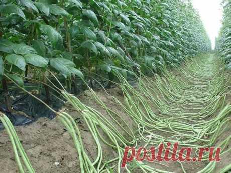 Фасоль вигна. Интересный и полезный овощ