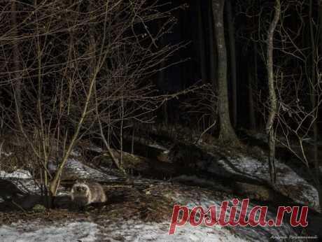 Ночь темна и полна енотовидных собак. Автор снимка – Андрей Прутенский: nat-geo.ru/community/user/39745/