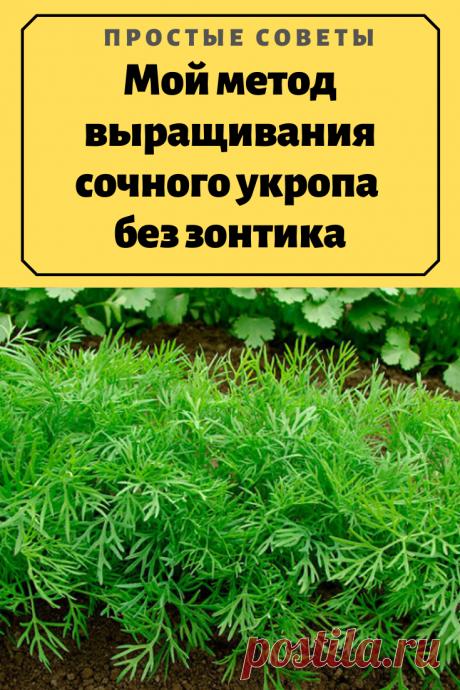 Мой метод выращивания сочного укропа без зонтика – Простые советы