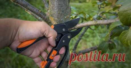 Как обрезать плодовые деревья летом – 5 простых и эффективных приемов Опытный специалист рассказывает, почему летом деревья нуждаются в обрезке, и как ее правильно провести.