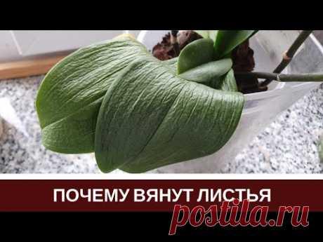 🌸Почему Вянут Листья Орхидеи Пропадает Тургор Листьев Фаленопсиса