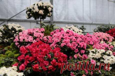 Азалия: прихотливое совершенство в цветочном горшке