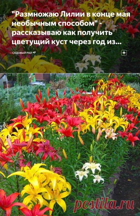 """""""Размножаю Лилии в конце мая необычным способом"""" - рассказываю как получить цветущий куст через год из стеблей и чешуек   Садовый рай 🌱   Яндекс Дзен"""