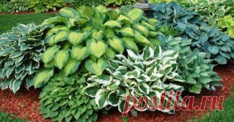 Как красиво разместить хосты на участке Главное достоинство хост заключается в том, что они хорошо растут практически в любых условиях. Но как правильно сочетать их с другими растениями?