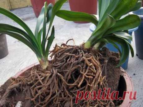 Как правильно пересаживать орхидею и когда это делать