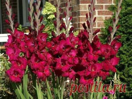 ПОДКОРМКА ДЛЯ ГЛАДИОЛУСОВ  Чтобы цветы радовали вас обильным и длительным цветением, их необходимо правильно удобрить. Что касается подкормки гладиолусов, то она происходит в четыре этапа.   1. В первый раз это азотные удобрения. Вносить их следует, как только на растении появятся два-три настоящих листка. Используют аммиачную селитру, мочевину или же сульфат аммония. Некоторые садоводы утверждают, что гораздо эффективнее себя показывают натриевые или калийные селитры.   2...