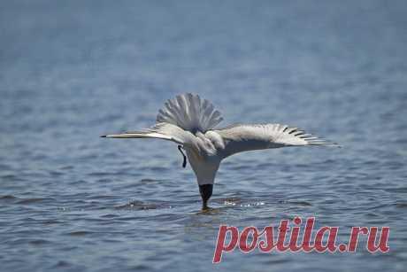 Морская фигура – замри! Озёрная чайка (Chroicocephalus ridibundus) охотится за мелкой рыбёшкой. Финский залив, остров Котлин. Снимал BigBeard: nat-geo.ru/community/user/14467/.