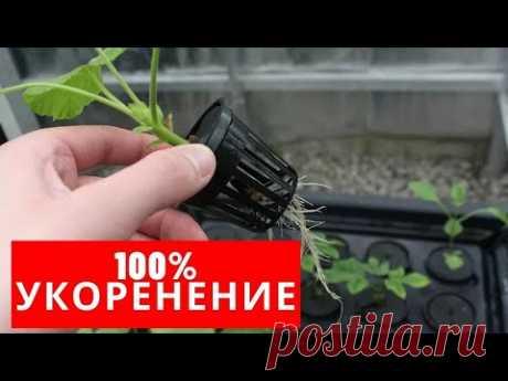 100% УКОРЕНЕНИЕ любых ГЕРАНЕЙ (ПЕЛАРГОНИЙ) - YouTube