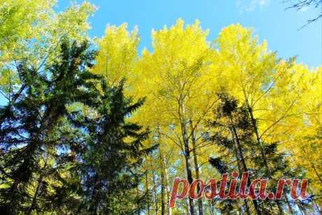 Зазолотились осинки в лесу)))🧡💥🌳☀💛