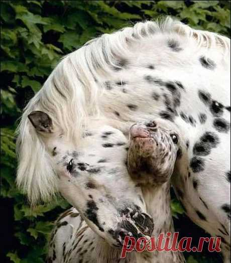 чубарая леопардовая масть