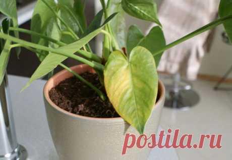 Почему у антуриума желтеют листья? Антуриум – цветущее многолетнее капризное тропическое растение американского происхождения. Выращивать его в домашних условиях хлопотно, так как цветок очень требователен к условиям содержания и момен...