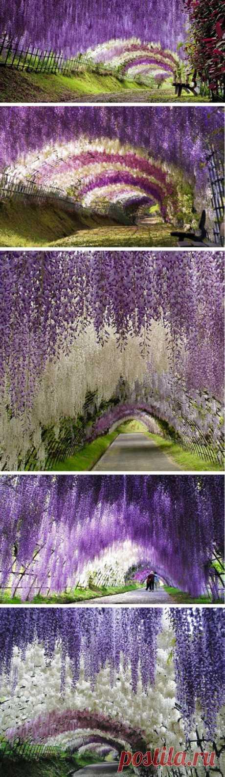 ¡El túnel de los colores! El jardín colgante de los colores de Kavati Fudzi, Japón