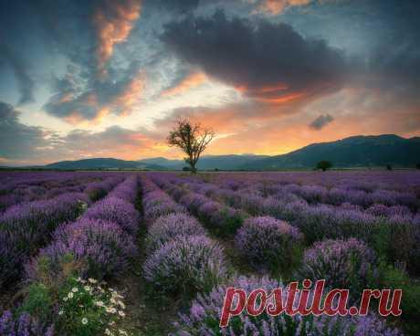 Картинки краси матаров, болгария, природа, пейзаж, холмы, поле, лаванда, дерево, закат, небо, облака - обои 1280x1024, картинка №354910