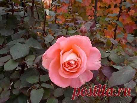 Куст розы на фоне винограда