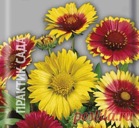 Семена цветов Гайлардия