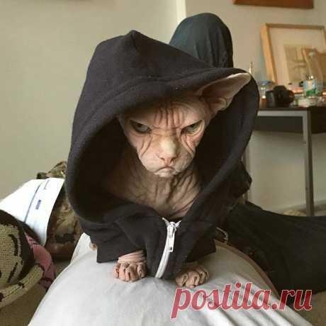 Самый агрессивный кот породы Сфинкс собственной персоной